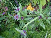 Centaurea1021_2